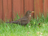 The blackbird male lives up to its name, however females are a streaked or spotted brown.  The males have a bright orange-yellow beak and eye-ring.  The blackbird is one of the most common of UK birds and its mellow song is a favorite. -rspb