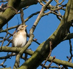 The fieldfare is another well-known winter visitor to the UK.  They typically form large flocks, usually seen in the company of red-wings.  Sexes are similar.
