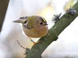 The Goldcrest has the pride of place as Europe's smallest bird, weighing as little as 5 grams.  This member of the kinglet family is very similar to the Firecrest, but with its plainer face makes it pretty easy to distinguish between the two.  </br></br>  This bird is partially migratory, but this bird does stay year-round here in the UK.  You can typically find this bird with flocks of tits in the winter months.