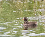 The little grebe, formerly the dabchick, is the smallest european member of the grebe family.  This bird can be found pretty much in any open body of water across its range.  Adults are predominantly dark above, dusky color on its neck, cheeks and flanks