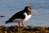 The Eurasian Oystercatcher, otherwise known as a Pied Oystercatcher or just Oystercatcher here in the UK is part of the oystercatcher family. Its the only one to occur here in the UK, although there are 3 subspecies of this oystercatcher in Europe and some of Asia. Its highly migratory but we are lucky enough to have this bird stay here year round. This bird as an adult has black above, white underneath, and a vividly red legs and bill which makes this striking bird really stand out amongst other waders. Despite its name, it does not primarily hunt for oysters, however its one of, if not the only wader to be able to pry open these tough creatures. What makes this bird really unique is that the shape of the bill varies depending on which type of food it specializes in. Birds that focus on molluscs have broad bill tips, where birds that specialize with unearthing worms tend to have pointed bills.