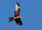 The Red Kite is a large bird of prey, part of the same family as eagles, buzzards and harriers. This is a relatively rare bird of Europe and Northwest Africa.</br></br> Here in the UK the population of this bird was down to a staggering handful of pairs in Wales. But due to reintroductions using German and swedish birds, populations are growing in both Scotland, Buckinghamshire, and the Chilterns. They have now been spreading over much of the UK. Most recently a population of 100 welsh birds has been agreed to begin reintroduction to Ireland, around the Wicklow Mountains area.</br></br> Because this bird is a scavenger, it is particularly prone to illegal poisoning, and shooting.