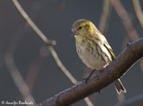 The eurasian siskin is a small finch, easily identified by its vividly yellow colors. It has a distinctly forked tail and a long narrow finch bill. </br></br>It is mainly resident from southern England to northern Scotland, but in larger numbers in Scotland and Wales. You can see this bird in much of the UK, but for England, where it becomes more common in winter.  We also get  birds arriving here from Europe. Look for these at the tops of trees in suitable habitat, more readily found in Scotland and Wales, where they are fairly common. </br>
